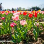008 tulipanitaliani new