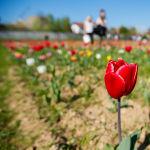 016 tulipanitaliani new