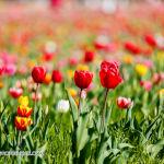 020 tulipanitaliani new