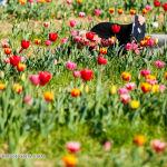022 tulipanitaliani new