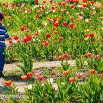 032 tulipanitaliani new