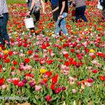 035 tulipanitaliani new