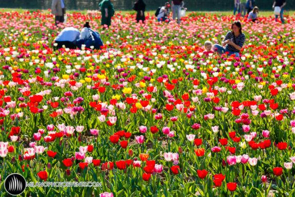045 tulipanitaliani new