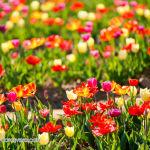 058 tulipanitaliani new
