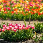 063 tulipanitaliani new